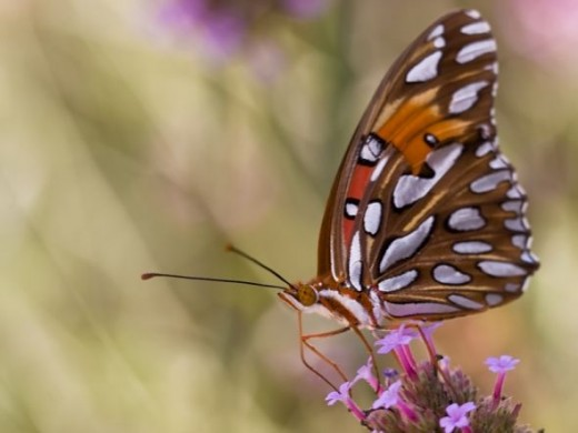 Fritillary Butterfly picture