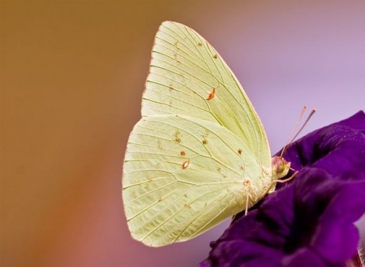 Sulfur Butterfly Photo