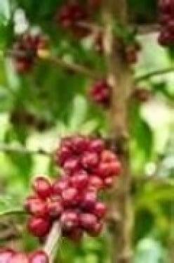 Growing coffee in Brisbane