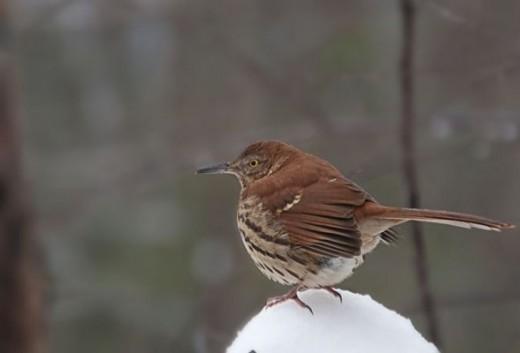 Brown Thrasher - Bird Photography