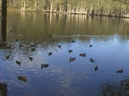 Ducks in the lake at Rochedale