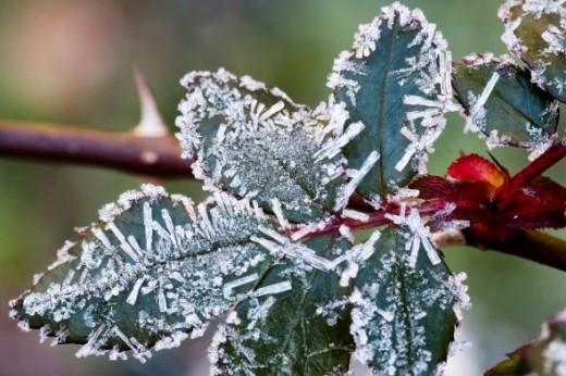 Ice crystals on rose leaf