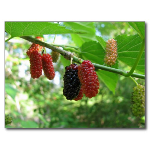 Native red mulberry trees produce many pounds of delicious berries each year. We eat them out of hand and in cobblers and jelly.