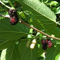 Mulberries and some are ready to pick.