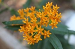 Butterfly Weed with Canon Rebel T4i