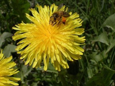 Bee on Dandelion is Public Domain by Steffen Banhardt via Wikimedia Commons