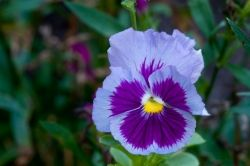 Pansy with Canon EOS Rebel 300d