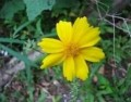 Coreopsis - Hardy and Beautiful Wildflowers