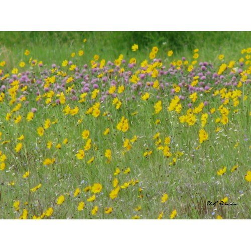 A glorious field of wildflowers containing coreopsis, red clover and many other blooms.