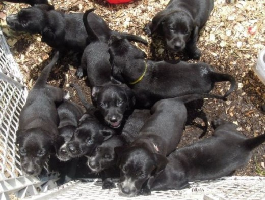 Elsie's Puppies are Ready for Adoption
