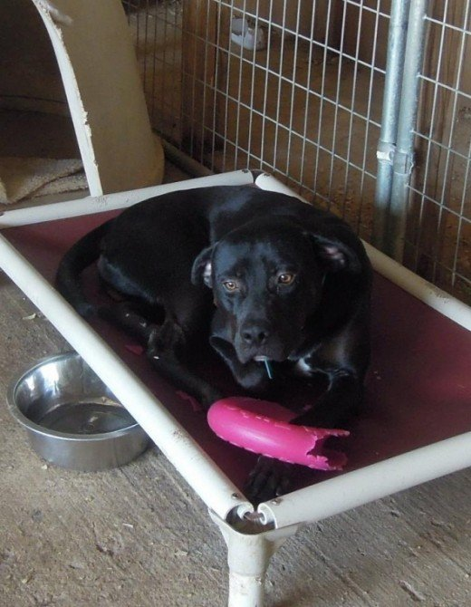 Trooper on his bed in the kennel. He really wants to go home with someone who will love him.
