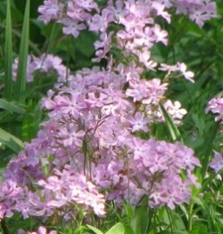 Phlox - Flowering Native Perennial