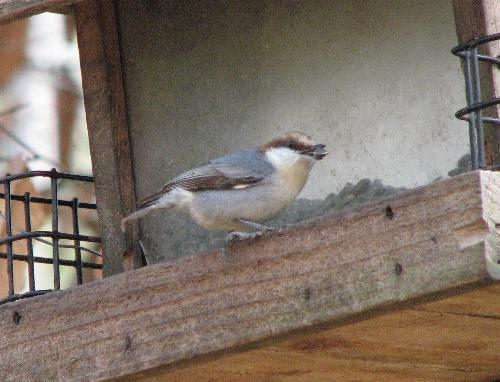Nuthatches love sunflower seeds and will readily use feeders.