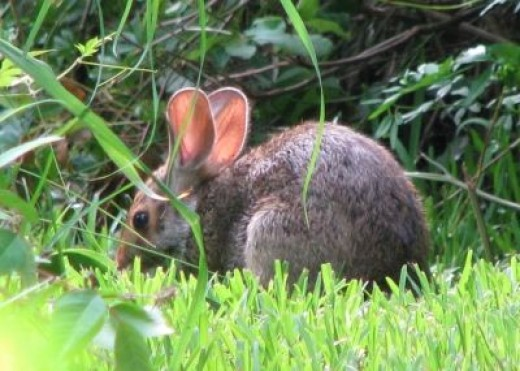 Cottontail Rabbit Munching on Wild Greens