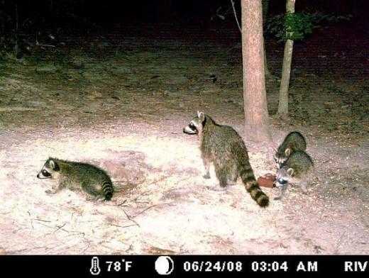 Mama Raccoon & 3 Babies