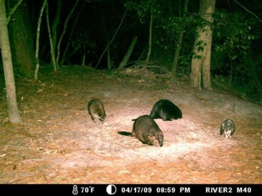 The Beavers (& the Opossum) eat a little before they finish the job on the tree.