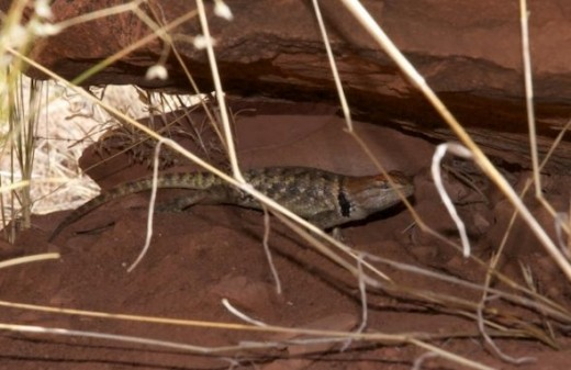 Watchman Trail lizards