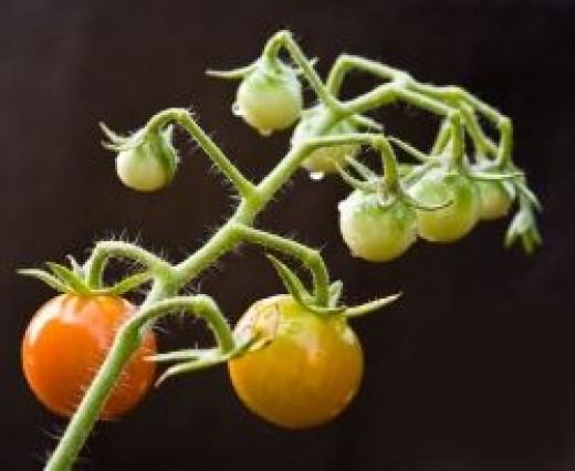 tomatoes in my veggie garden