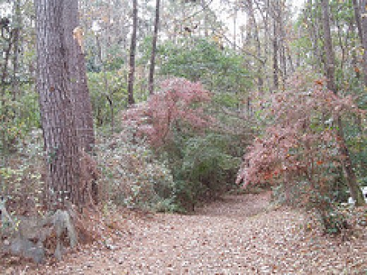 In the fall the leaves of our native blueberry bushes (Vaccinium spp.) turn shades of red.