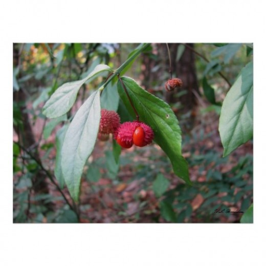 Also called deer candy, the fruit of this native shrub adds color to the landscape and browse food for wildlife.