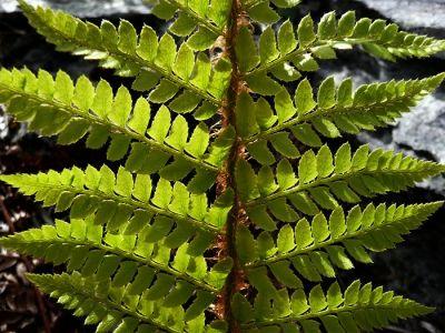 Ferns Grow in the Rock
