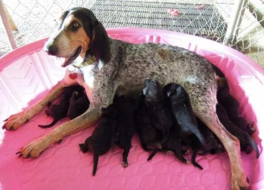Elsie nurses the 11 pups