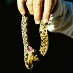Hognose Snake in Louisiana