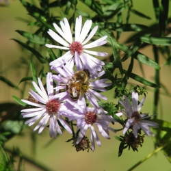 Asters are an important pollinator plant.