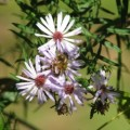 Wild Asters of Autumn