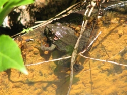 Bronze Frog in Iron Kettle Water Feature