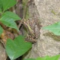 Cricket Frogs of Louisiana