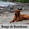 Dogue De Bordeaux the French Mastiff