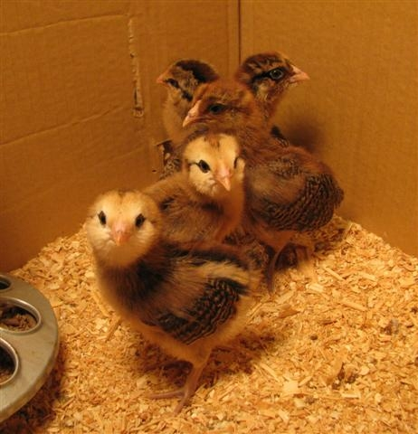 2 chicks are different from the rest. They have white faces & are younger.