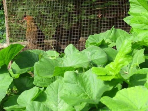 Hens in Movable Coop Behind Pumpkin Vine