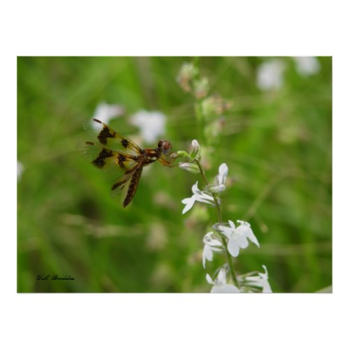 Many pollinators and other insects visit lobelia flowers.