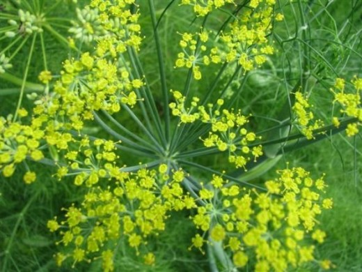 Fennel is a tasty addition to salad and is also the larval plant of the eastern black swallowtail butterfly.