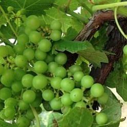 Visiting a Texas Vineyard
