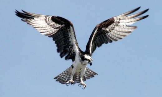 An Osprey preparing to dive at Kennedy Space Center, Florida, USA - by Stephen Michael Barnett, via Wikimedia Commons