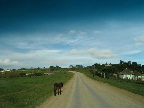 Animals in the road, pretty common when driving through the Transkei.