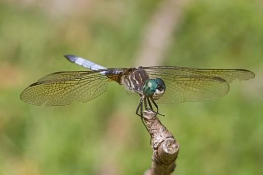 Dragonfly macro image