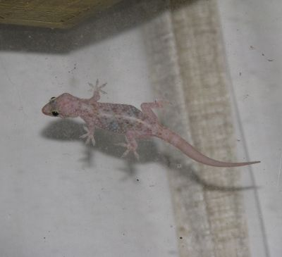 Mediterranean Gecko Naturalized in Louisiana