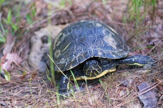 Red Slider Laying Eggs