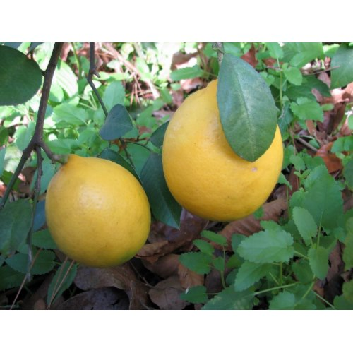 Meyer lemons are a more cold hardy, oriental citrus that tastes like the more delicate tropical lemons that you find in groceries.