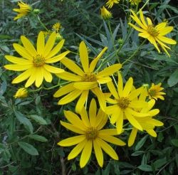 There are many native Helianthus that brighten the roadsides in autumn.