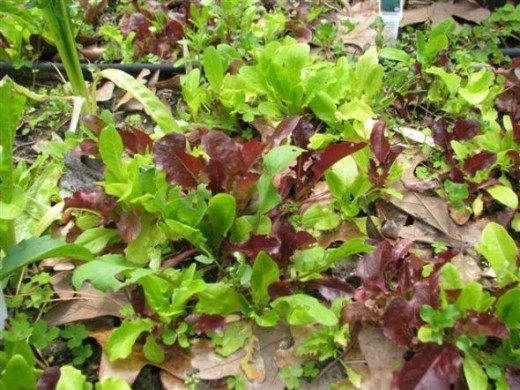 Various Leaf Lettuces