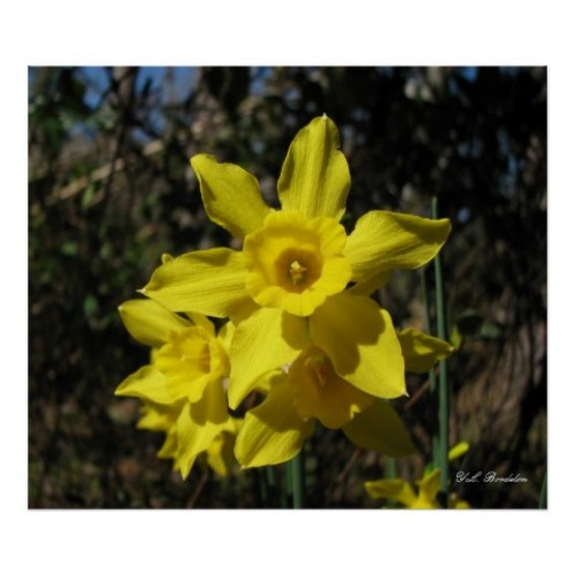 These are called rush-leaf daffodils because of the tubular shaped leaves.