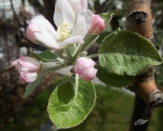 Jonathan Apple Blossoms - Spring 2012