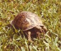 Quiz: Turtles of the Southeast U.S.