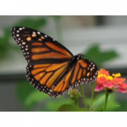Each fall, after feeding on the nectar from lantana and other flowers, this butterfly migrates to the mountain forests of Mexico where it spends the winter.