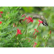 Nectar-rich cypress vine blooms in fall, just in time for the migration of these tiny birds.